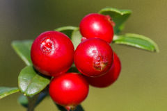 The ripe, fresh berries of cowberries (lingonberry, partridgeber. Ry or cowberry) in the forest. Macro photo. Nature in summer season Royalty Free Stock Images
