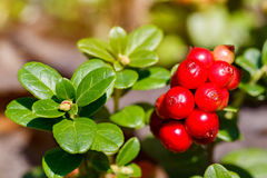 The ripe, fresh berries of cowberries (lingonberry, partridgeber. Ry or cowberry) in the forest. Macro photo. Nature in summer season Royalty Free Stock Photos