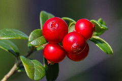 The ripe, fresh berries of cowberries (lingonberry, partridgeber. Ry or cowberry) in the forest. Macro photo. Nature in summer season Stock Images