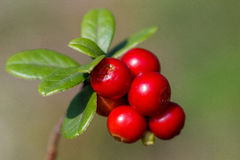 The ripe, fresh berries of cowberries lingonberry, partridgeber Royalty Free Stock Photo