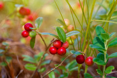 The ripe, fresh berries of cowberries (lingonberry, partridgeber. Ry or cowberry) in the forest. Macro photo. Nature in summer season Stock Image