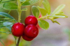 The ripe, fresh berries of cowberries (lingonberry, partridgeber. Ry or cowberry) in the forest. Macro photo. Nature in summer season Stock Photo