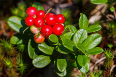 The ripe, fresh berries of cowberries (lingonberry, partridgeber Stock Photos