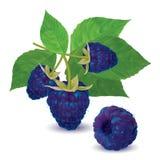 Ripe fresh blackberries on a branch Royalty Free Stock Image