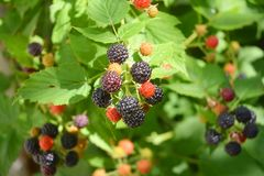 Ripe fresh blackberries in the fruit garden. Cultivated blackberries are notable for their significant contents of dietary fiber,. Vitamin C, and vitamin K royalty free stock photos