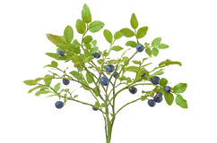 Ripe fresh blueberry branch Stock Photos