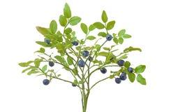 Ripe fresh blueberry branch. Isolated on white background Stock Photos