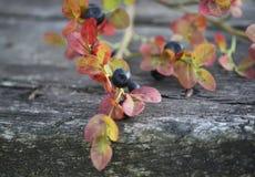 Ripe fresh blueberry Royalty Free Stock Image