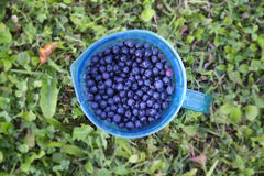 Ripe fresh blueberry Royalty Free Stock Photo