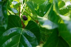 Ripe and fresh fruits of black mulberry ripened on a tree branch. Healthy food of juicy mulberry fruit.  royalty free stock image