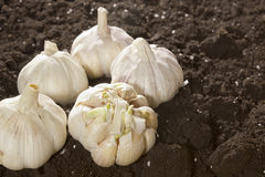 Ripe fresh garlic Royalty Free Stock Photo