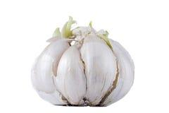 Ripe fresh garlic Stock Photo