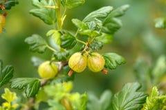 Ripe fresh green gooseberries on a branch of bush in the garden stock photo