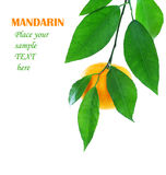 Ripe fresh mandarin Royalty Free Stock Images