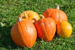 Ripe fresh orange pumpkins on a green meadow Royalty Free Stock Images