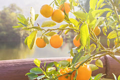 Ripe and fresh oranges Royalty Free Stock Photo