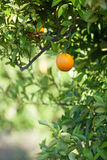 Ripe and fresh oranges hanging on branch, orange orchard in Turkey. Royalty Free Stock Photography