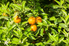 Ripe and fresh oranges hanging on branch, orange orchard in Turkey. Stock Photos