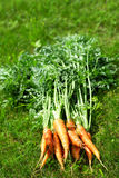 Ripe and fresh organic carrots Royalty Free Stock Photo