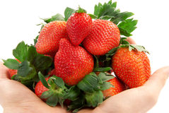 Ripe fresh organic Strawberries in hands royalty free stock photography