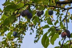 Ripe and fresh plum fruits on a tree stick. Ripe and fresh plum fruits on a tree stick stock photography