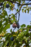 Ripe and fresh plum fruits on a tree stick. Ripe and fresh plum fruits on a tree stick stock image