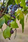 Ripe and fresh plum fruits on a tree stick. Ripe and fresh plum fruits on a tree stick stock images