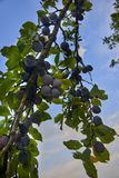 Ripe and fresh plum fruits on a tree stick. Ripe and fresh plum fruits on a tree stick royalty free stock image