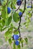 Ripe and fresh plum fruits on a tree stick. Ripe and fresh plum fruits on a tree stick stock photos