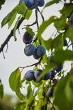 Ripe and fresh plum fruits on a tree stick. Ripe and fresh plum fruits on a tree stick royalty free stock photography