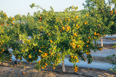 Ripe and fresh tangerines with leaves on tree against blue sky Royalty Free Stock Photography