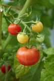 Ripe fresh tomatoe Stock Images