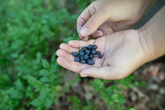Ripe freshly picked wild blueberries in woman's hands Royalty Free Stock Images