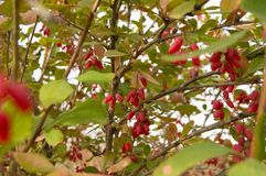 The ripe fruit of barberries on branch, selective focus.  Stock Photos