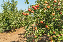 Ripe fruit on the branches of apple trees Royalty Free Stock Image