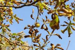 Ripe fruit chestnut Royalty Free Stock Photo