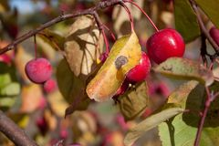 Ripe fruit on a diseased apple tree.Fruit tree diseases. Ripe fruit on a diseased apple tree. t tree diseases. Autumn morning Royalty Free Stock Photo