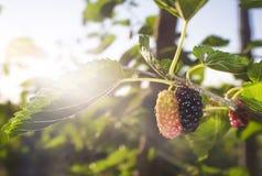 Ripe fruit and foliage of Black Mulberry or Morus nigra Stock Photos