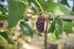 Ripe fruit and foliage of Black Mulberry or Morus nigra Royalty Free Stock Image