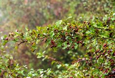 Ripe fruit of hawthorn in autumn day Stock Images