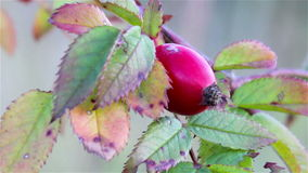 Ripe fruit hips stock footage