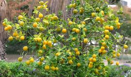 Ripe fruit on the orange tree in the square of the city of Holon in Israel.  stock photo