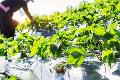 Ripe fruit on the plants. Stock Photography