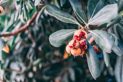 Ripe fruit on a rubber plant in a Spanish park royalty free stock photo