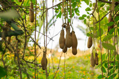 The ripe fruit of the sausage tree Royalty Free Stock Images
