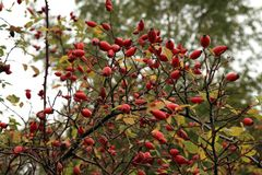Ripe fruit, wild rose hip shrub in nature. Stock Images
