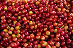 Ripe fruits of the coffe tree. Coffee plantations in Quindio - Buenavista, Colombia. The cherry is the name usually given to the fruit of the coffee tree. Green stock photography