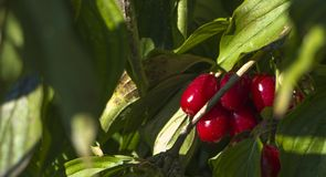 Ripe fruits of Cornelian cherries Cornus mas as a background Royalty Free Stock Photos