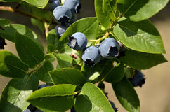 Ripe fruits of highbush blueberry Stock Photo