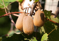 Ripe fruits of kiwi on the branch in a sunny day, close-up Royalty Free Stock Image